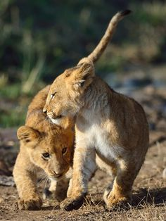 Two Lion Cubs:  Playing in Masai Mara Country, Kenya.                                              (Photo By: Brendabotha-56.)