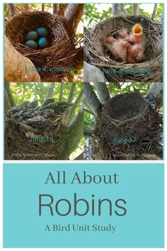 Nothing says Spring more than robins building a nest and laying eggs. Learn about these backyard birds, their nesting habits, and more in this unit study. Hands On Learning, Hands On Activities, Science Lessons, Science Fun, Science Resources, Life Science, Science Experiments, Bird Identification, American Robin