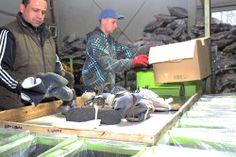 10 – Das sind die Herr Ercieczs Kollegen Herr Görkem (links) und Herr Sobczak, die die Schuhe aus den Kartons holen und sie anschließend sortieren.