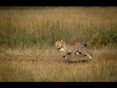 A family of Cheetahs chase a few Coke's Hartebeests at Masaai Mara in Kenya.  The cheetah can run faster than any other land animal— as fast as 112 to 120 km/h (70 to 75 mph) in short bursts covering distances up to 500 m (1,600 ft), and has the ability to accelerate from 0 to 100 km/h (62 mph) in three seconds.