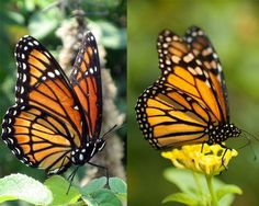 Viceroy and monarch butterflies Another kind of mimicry is Müllerian mimicry, named after the widely accepted theory advanced in 1878 by the German naturalist Fritz Müller. This occurs when two species both benefit one another by looking alike because they are both equally unpalatable, as is the case with viceroy (left) and monarch (right) butterflies. Usually the species share at least one common predator.