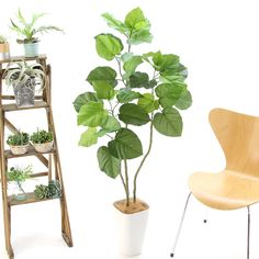 造花ドットコムの光触媒人工観葉植物 32560「【予約販売7月1日より出荷いたします】【本物そっくり】 フィカス・ウンベラータ 3本立 140cm+白プラ(CHIC8)」(フェイクグリーン)