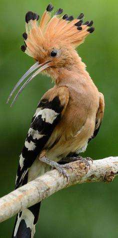 About Wild Animals: Beautiful hoopoe bird : Beautiful hoopoe bird. Tropical Animals, Tropical Birds, Colorful Birds, Exotic Animals, Rare Birds, Exotic Birds, Exotic Pets, Animals Beautiful, Cute Animals
