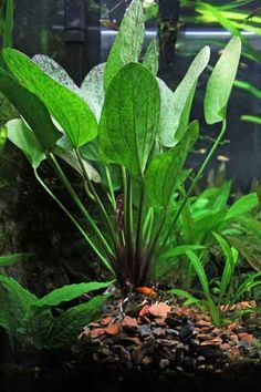 Emergent plant: grows in water but pierces the surface so that it is partially in air.  Unlimited access to CO2 and the benefits of natural sunlight. Java Fern Anubias Water wisteria Water sprite Echinodorus (amzon sword) Crytocoryne Aponogeton Ceratophyllym Lindernia grandiflora Bacopa caroliniana  To expedite the emergent growth for water wisteria/sprite, simply take a cutting and let it float on the water's surface.