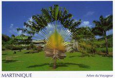 arbre du voyageur en Martinique