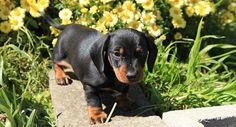 B & T pup Dachshund Puppies, Baby Puppies, Dachshunds, Puppy Love, Pets, Animals, Board, Beautiful, Baby Cubs