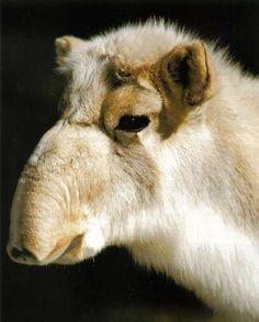 Saiga antelope (Saiga tatarica). One of the worlds fastest animals, the saiga can reach speeds of up to 80 km/h.