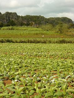 Tobacco Field, Vinales, Pinar del Rio, Cuba. Photo: Adam Jones Ph.D. - Global Photo Archive via Flickr