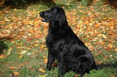 Flat Coated Retriever HDQ Image