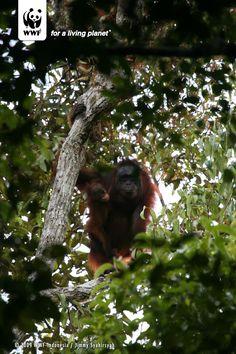 © WWF-Indonesia