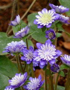"""Anemone hepatica var. japonica """"Tensei"""" Gefülltes Zweifärbiges Japanische Leberblümchen"""