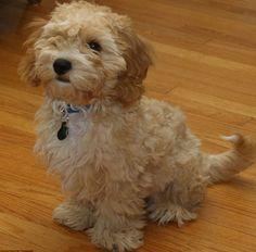 Cavapoo-Chon, la nueva raza de perro creada por el hombre
