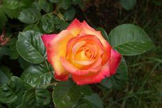Pullman orient-express (meilland) J'en ai deux pieds, c'est une vraie réussite, une rose qui a tout pour elle, sa couleur, sa forme turbinée, son parfum. Incontournable hybride moderne.