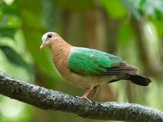 Purple-tailed Imperial Pigeon (Ducula rufigaster)