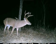 Whitetail buck Bow Hunter, Whitetail Bucks, White Tail, Goats, Deer, Animals, Animales, Animaux, Animal