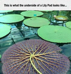 The Underside Of A Giant Water Lily
