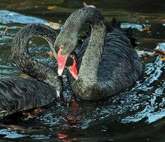 Zwarte zwaan burgerszoo IMG_0261   Flickr - Photo Sharing!