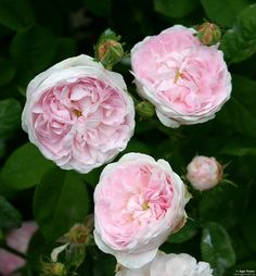 'Duchesse de Montebello' (Gallica Rose) - shell pink blooms that are quartered, double and mid-size; light, sweet fragrance; compact grey-green foliage; 4'x3'; Z4.