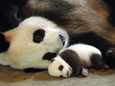15 Drop-Dead Cute Pandas - GET HAPPY - Exotic Animals & Pets : People.com