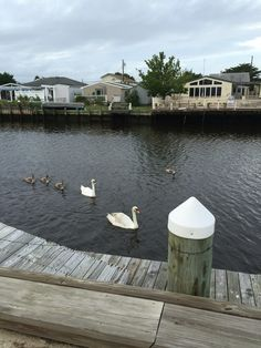We got a visit from the swans this summer