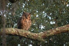 """Great Horned Owl in Charleston Live Oak Tree. Continuing story from Dale Aren. Love this blog and series of posts. """"Dad is watching over us"""""""