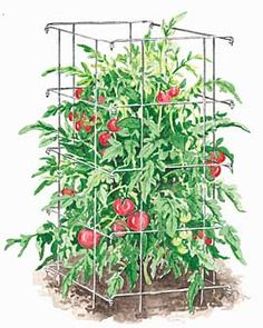 Collapsable Tomato Cages.  Happy Birthday to me-next spring