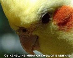 Cockatiel Care is a information resource website providing help and guidance on keeping cockatiels as pets. Cockatiel Care, Hello Memes, Cute Love Memes, Budgies, Parrots, All The Things Meme, Stupid Memes, Funny Relatable Memes, Beautiful Birds