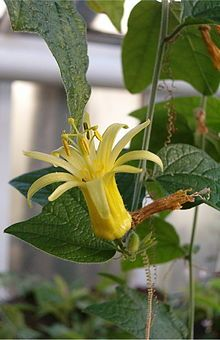 Passiflora citrina is a species of Passion flower native to Central America. It is also grown as an ornamental plant.  Order:	Malpighiales Family:	Passifloraceae Genus:	Passiflora Species:	P. citrina  Passiflora citrina BotGardBln1105FlowerD.