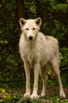 """animalia:  """" A female Gray Wolf. Photograph by Justin Schmauser.  """""""