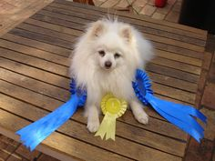 Mr Winkie with his rosettes