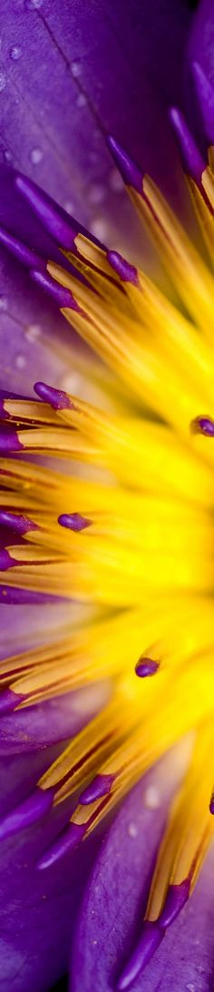 Purple and yellow bloom Purple Yellow, Mellow Yellow, Shades Of Purple, Purple Gold, Complimentary Colors, Bright Colors, All Nature, Purple Reign, All Things Purple
