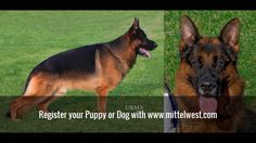 http://mittelwest.com/ Julie Martinez Mittelwest World class German Shepherd Dog imports, breeder, puppies for sale, german shepherds for sale, stud services.#germanshepherd #mittelwest