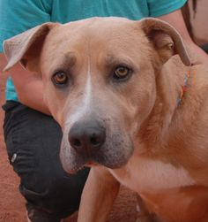 Chance wants to be another dog's little brother. He is a golden-hearted, very bashful Bully & Retriever mix, 4 years of age, a neutered boy, debuting for adoption today at Nevada SPCA (www.nevadaspca.org). We rescued Chance from another shelter.