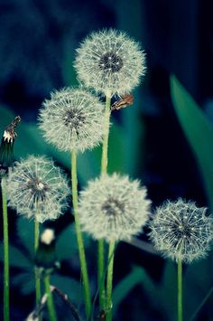 simple beauty- dandelions  [dandelion, Taraxacum officinale, Asteraceae]