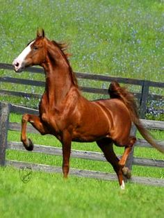 So beautiful I must own a saddlebred