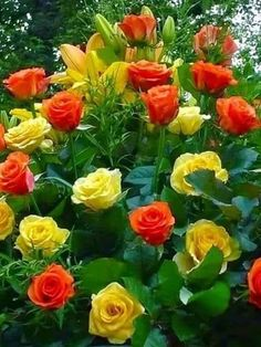 Roses Jaunes et Oranges,,j'adore ** Most Beautiful Flowers, My Flower, Pretty Flowers, Beautiful Gardens, Simply Beautiful, Yellow Roses, Red Roses, Deco Floral, Love Rose