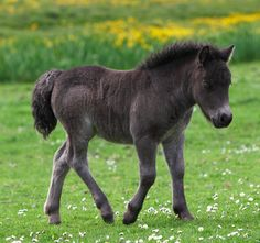 Shetland pony foal | Flickr - Photo Sharing!