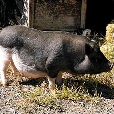 Potbelly Pig. Dress The Part: At Home Farmer | Moomah the Magazine