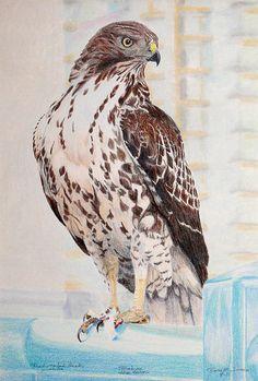 Red-tailed Hawk Print By Ross Michaels Watercolor Bird, Watercolor Animals, Hawk Pictures, Hawk Tattoo, Hawk Bird, Art Trading Cards, Michael Art, Red Tailed Hawk, Bird Artwork
