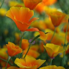 California Poppies...someone special used to pick these for me. <3