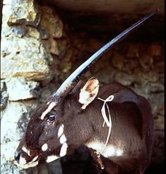 WWF - Saola rediscovered! 'Asian Unicorn' sighted in Vietnam for first time in 15 years