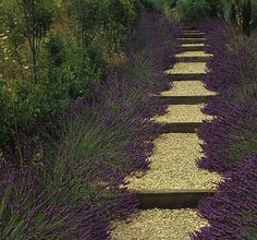 Lavender-lined gravel path for sunny places - fragrant!