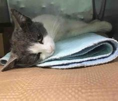 Casper 04/04/17*****FELV POSITIVE**Poor kitty is not feeling well and on death list today! If you would like to foster or adopt and can't make it to the shelter, please write an email NOW to the Urgent Help Desk at   Helpcats@Urgentpodr.org  Their experienced volunteers will assist you one-on-one with rescues and the application process. Transport can be arranged by rescues to the homes of approved fosters or adopters within 3-4 hours of New York City