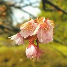 【bitokenichi】さんのInstagramをピンしています。 《昨日の京都府立植物園です😆🎵🎵 早咲きの梅の花と共に貴重な寒桜🌸🌸 きょうみたいな陽気が続いて欲しいなぁ❤❤ #寒桜 #桜 #京都 #京都府立植物園 #蕾 #春が待ち遠しい #chrryblossom #kyoto #botanicalgardens》