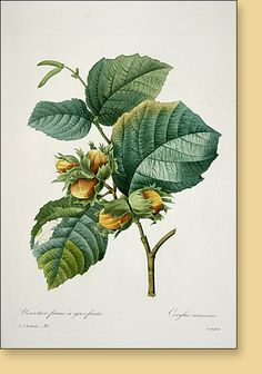 """Pierre-Joseph Redoute """"Choix des plus belles Fleurs- 1835"""" Hand-colored stipple engravings circa 1835 Plate: 85 Common Hazelnut"""