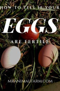 Wondering if your chicken eggs are fertile?  Find out the easy way to tell!