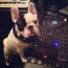 And Manny's a serious DJ. | Manny And Frank Are The Cutest Frenchie Brothers Of Instagram