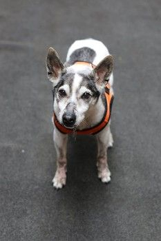 """""""Zorro misses being in a home. The transition to a rescue is always difficult, but for our 19-19y friendly boy, it's obvious he wants to be back in a home in a simple routine, to rest comfortably."""" He's deaf & will require an owner who'll make the effort to help him get around safely. He still enjoys walks, outdoors & car rides. Will you take me home? ~http://www.examiner.com/article/19-year-old-deaf-dog-survives-abuse-and-is-now-need-of-a-home?CID=examiner_alerts_article"""