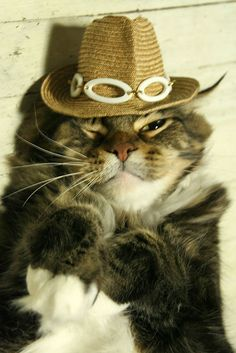 Cat dressed up as Maine coon