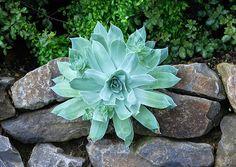 Flickriver: Photoset 'Dudleya pulverulenta - Chalk Dudleya' by ...